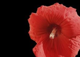 粉色和红色的芙蓉花图片(10张)