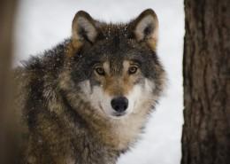 凶狠的狼图片(14张)