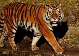 行走中霸气外露的老虎图片(12张)