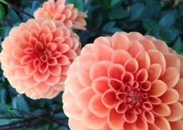 多姿多彩娇艳的菊花图片(11张)