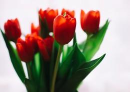 优雅娇媚的郁金香图片(12张)