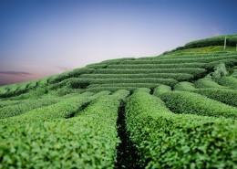 绿油油的茶园图片(10张)