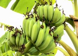 未成熟的绿色香蕉图片(11张)