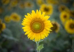 金黄色追逐太阳的向日葵图片(10张)