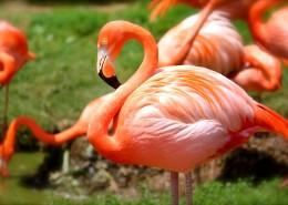 毛色艳丽的火烈鸟图片(15张)