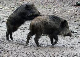 野猪高清图片(12张)