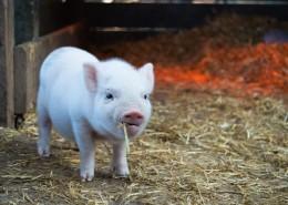 憨憨的小猪图片(12张)