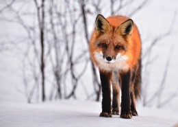 狡诈的野生狐狸图片(15张)