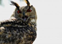 呆萌的欧亚侏儒猫头鹰图片(12张)