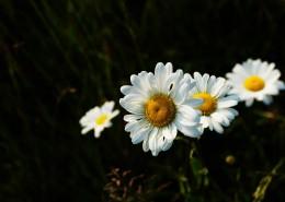 洁白的菊花图片(12张)