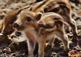 毛皮多样的野猪图片(10张)