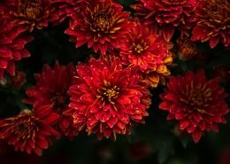 各种颜色艳丽的菊花图片(8张)