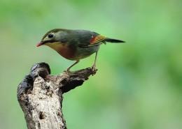 活泼的相思鸟图片(10张)