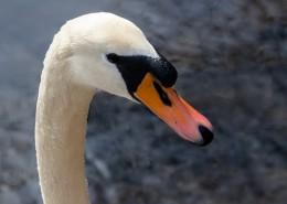 白天鹅头部高清图片(15张)