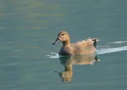 赤膀鸭图片(10张)