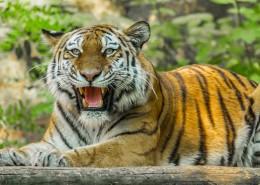 趴在地上的老虎图片(11张)