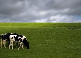 牧场里的荷兰奶牛图片(10张)