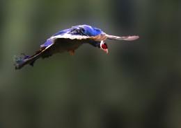 蓝马鸡鸟类图片(7张)