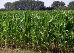绿色的玉米地图片(13张)
