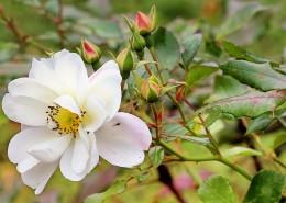 白色野玫瑰特写图片(13张)