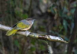 绿翅短脚鹎鸟类图片(8张)