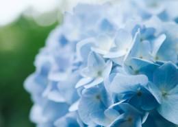 蓝色的八仙花图片(15张)
