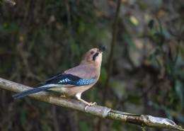松鸦鸟类图片(8张)