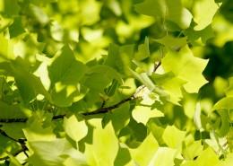 绿色的枫叶图片(12张)