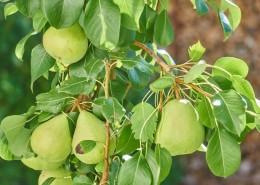 树枝上的梨子图片(16张)