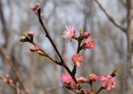 枝头盛开的桃花图片(11