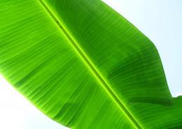 绿色香蕉叶局部特写图片