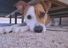 呆萌的黄白宠物狗图片(12张)