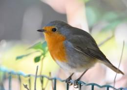 小巧可爱的知更鸟图片(13张)