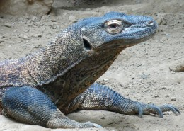 强壮的巨蜥图片(8张)