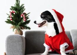圣诞装扮的狗狗图片(10张)