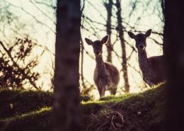 野生鹿的特写图片(11张)