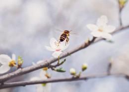 采蜜的蜜蜂图片(14张)