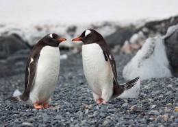 呆萌的企鹅图片(18张)