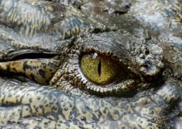 鳄鱼的特写图片(13张)