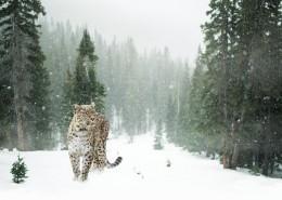 健壮的野生豹图片(15张)