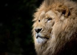 威猛的狮子图片(12张)