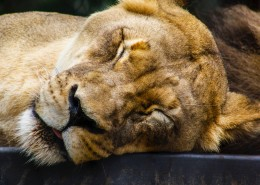 草原上的母狮子图片(11