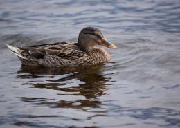 水里的鸭子图片(13张)