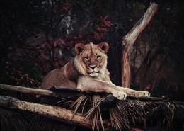 野生的雌狮图片(16张)