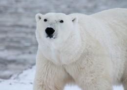 憨态可掬的北极熊图片(1