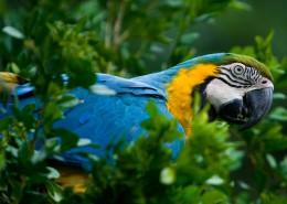蓝翅金刚鹦鹉图片(13张)