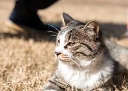 草地上的灰猫图片(12张)