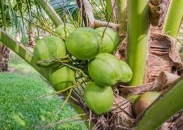 椰树上的椰子图片(12张)
