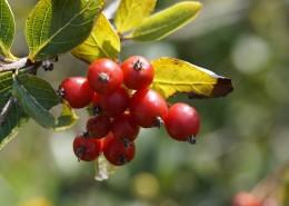 红色酸甜的山楂图片(12张)