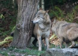 森林里的野狼图片(14张)